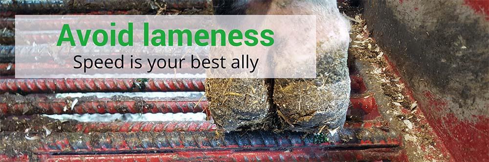 Avoid Cattle Hoof Lameness