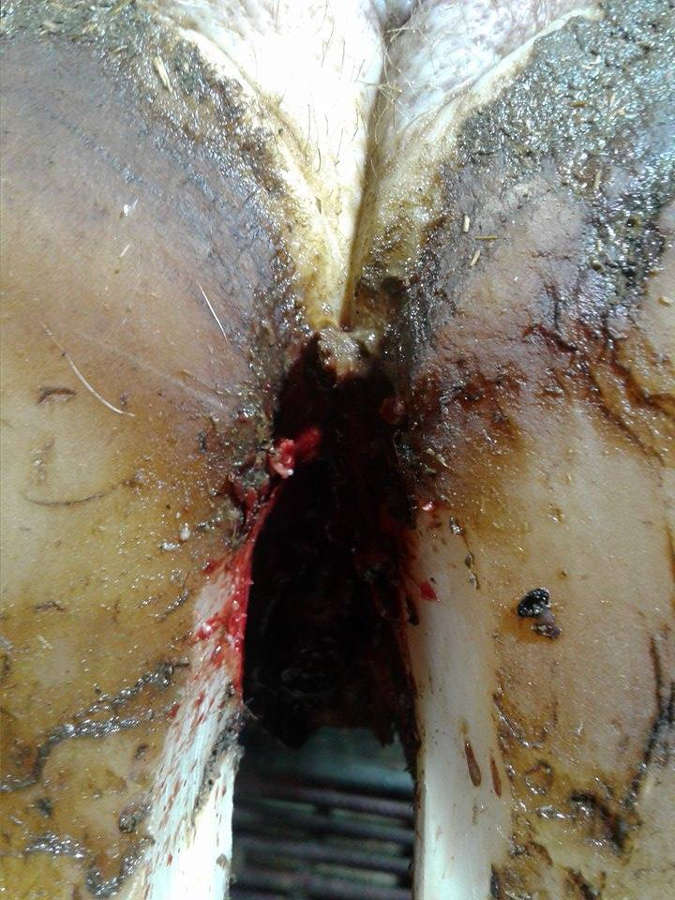 Hoof Foot Rot in Dairy Cows