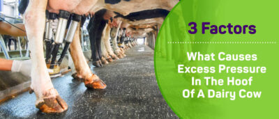 3 factors causing excess pressure in the hoof of a dairy cow