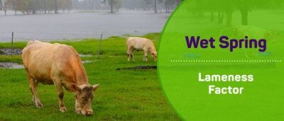 A Wet Spring and its Impact on Lameness in Cows
