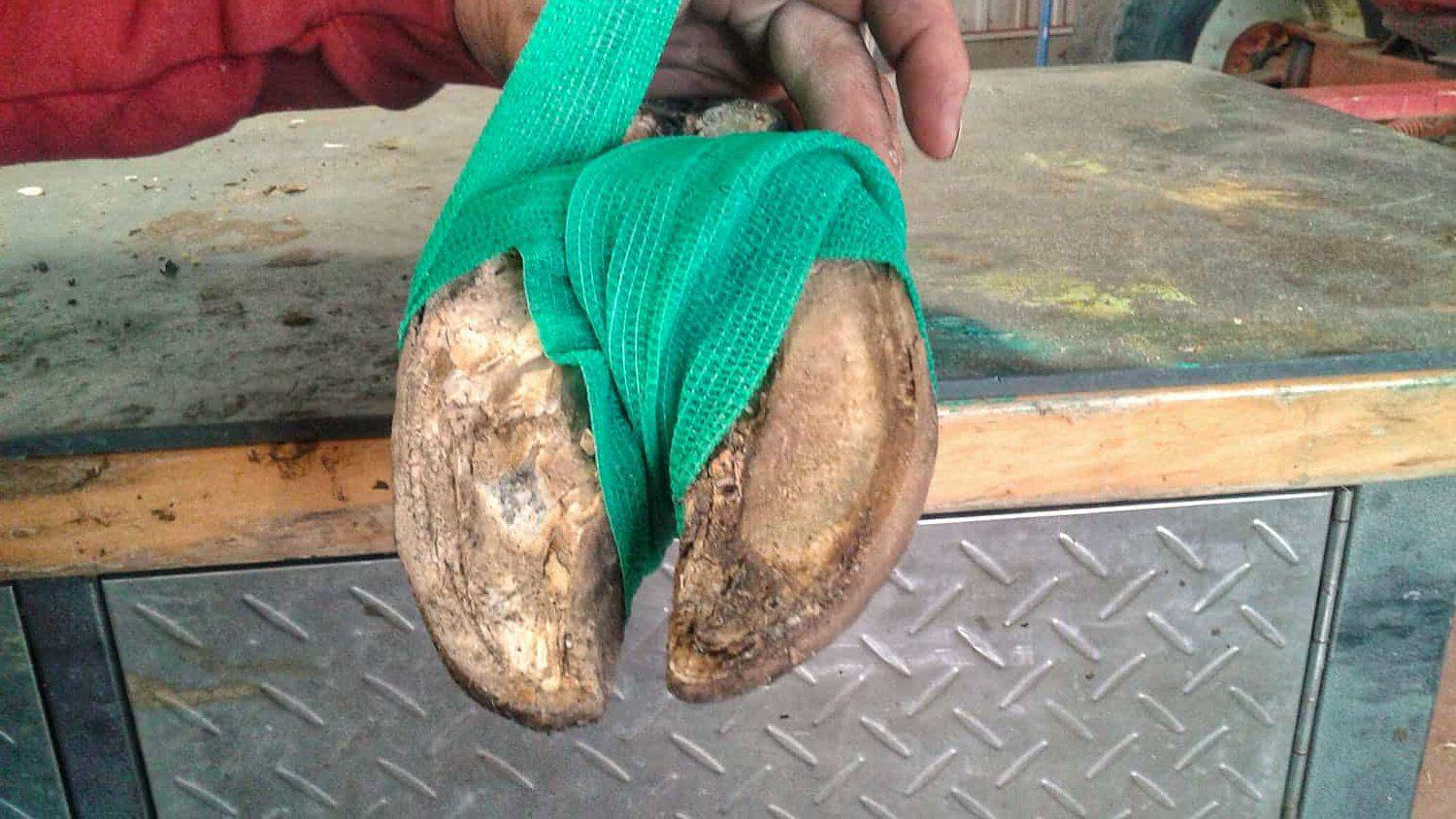 Dairy Cow Hoof Wrapping