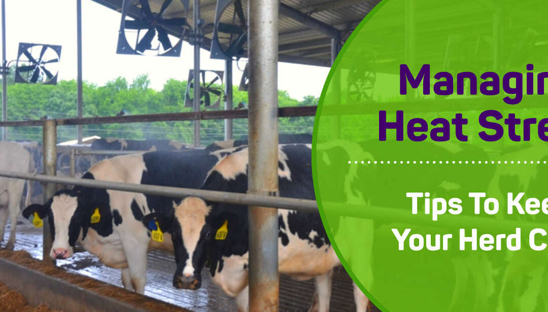 Managing the Heat Stress in Your Herd